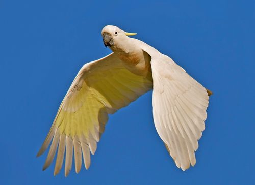 Sulphur-crested Cockatoo IMG_8641