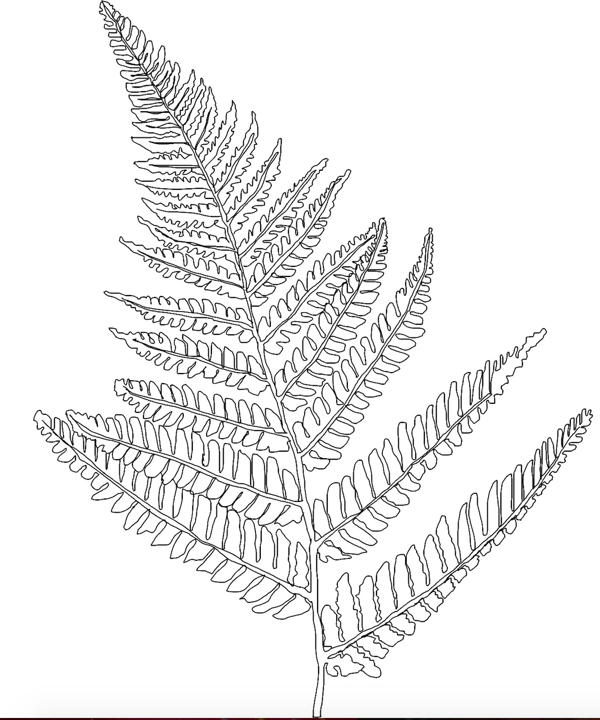 Tree Fern Drawing   ww...