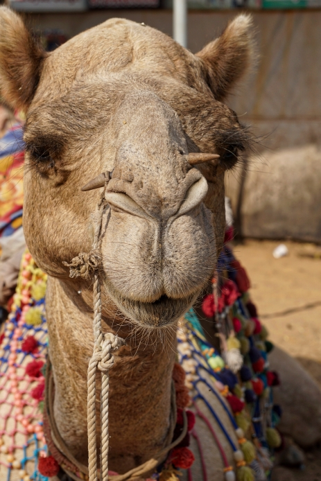camel-7